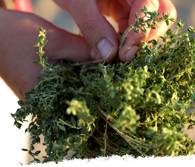 Taking the leaves off thyme